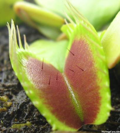 VFT high resolution trigger hairs