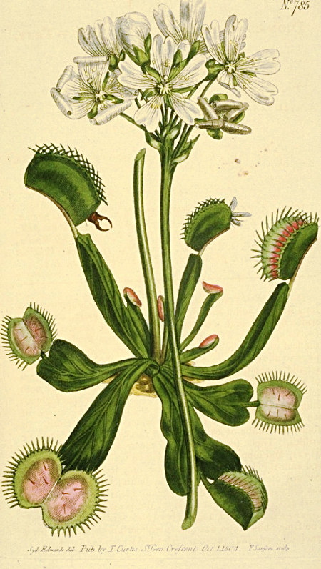 dionaea-muscipula-botanical-drawing