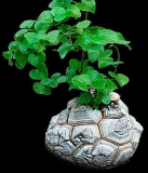 dioscorea_elephantipes_