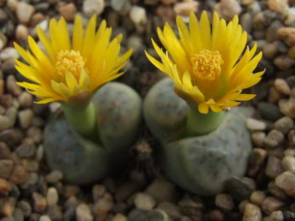 Lithops schwantesii ssp. schwantesii (grey form), 120 km SE of Aus, C250