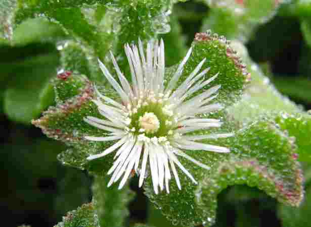 http://seeds-gallery.ru/images/stories/virtuemart/product/common-ice-plant5-thumb-2953x2215-194.jpg