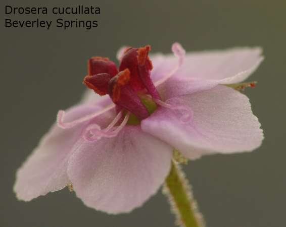 Drosera cucullata, Beverly Springs