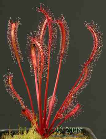 Drosera capensis, red form
