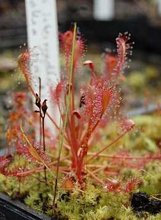 Drosera intermedia 'Carolina Giant'