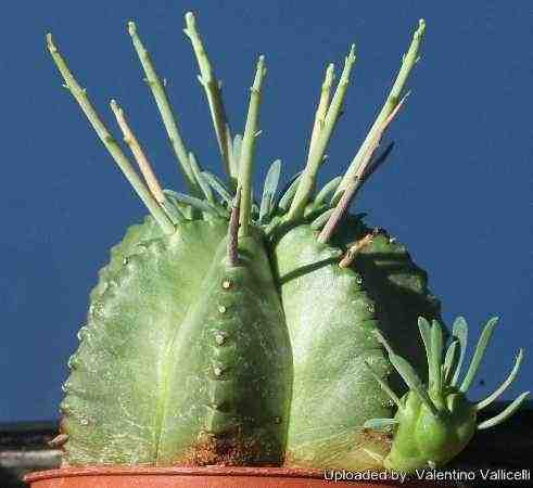 Euphorbia pillansii