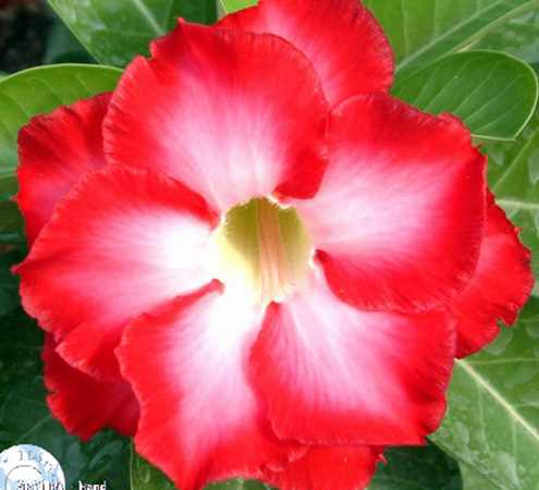 Adenium obesum 'Fragrant Cloud'