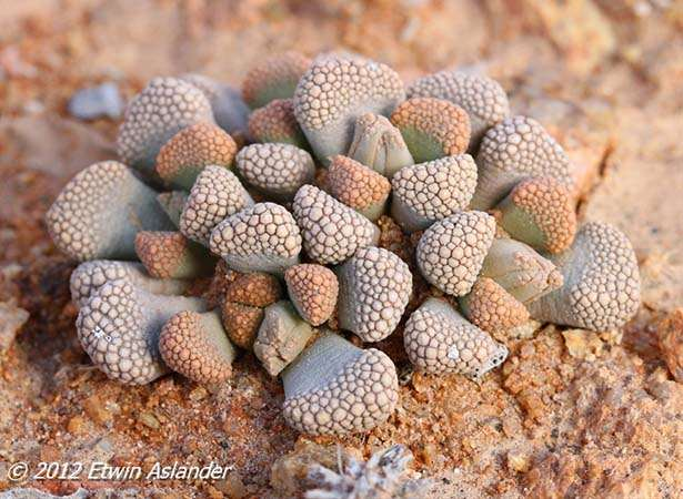 http://seeds-gallery.ru/images/stories/virtuemart/product/photographed-near-aalwynsfontein-(namaqualand)2.jpg