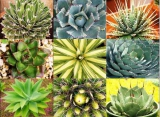 Agave mix