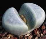 Lithops meyeri, 40 km NNE of Port Nolloth, C212
