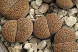 Lithops hookeri var. marginata (red - brown form), C337