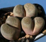 Lithops terricolor, 30 km WNW of Prince Albert Road, C346