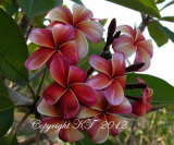Plumeria rubra 'China Doll'