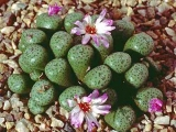 Conophytum obscurum, Witkoppies