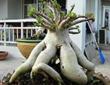 Adenium thai socotranum Golden Coral