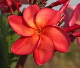 Plumeria rubra 'Orange Unique'
